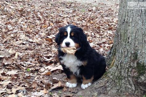 bernese mountain puppies michigan bernese mountain puppy for sale near grand rapids michigan 4deda462 d861