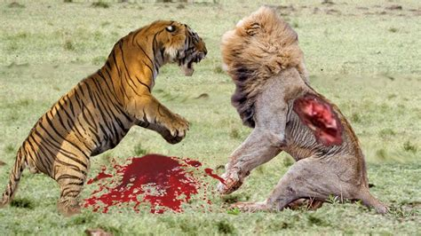 real fights real jungle animals