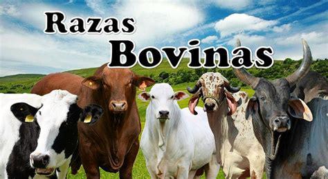 libro minicuentos de vacas y raza bovina guernsey origen caracter 237 sticas f 237 sicas y funcionales