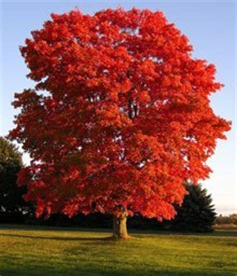 fastest growing shade trees the tree center