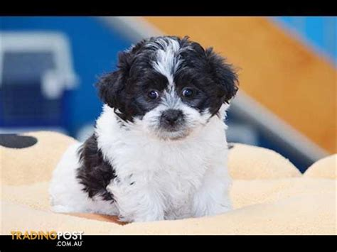 bichon x shih tzu zuchon bichon frise x shih tzu puppies for sale in hoppers crossing vic zuchon