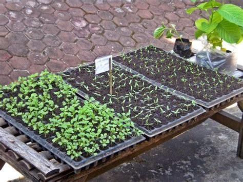 Membuat Tray Semai cara membuat media persemaian tanaman budidayaku