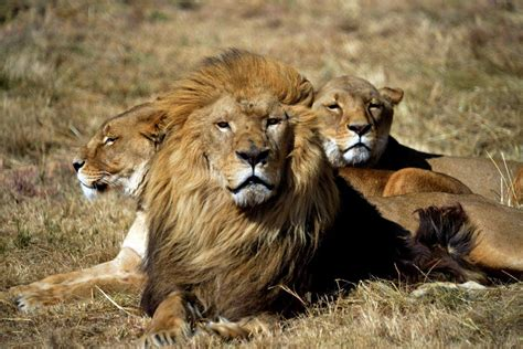 lions home a roaring success as six rescued lions settle into their