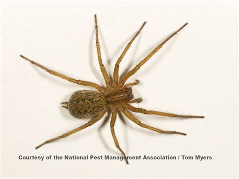 sw spider house spider control extermination of spiders national pest management association