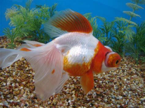 china doll goldfish moor china doll ryunkin