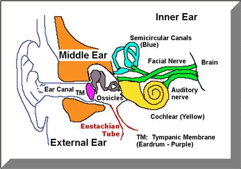 diagram of the ear temporal bone and ear anatomy kevin kavanagh md