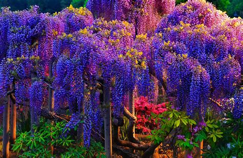 beautiful tree pink wisteria tree wallpaper