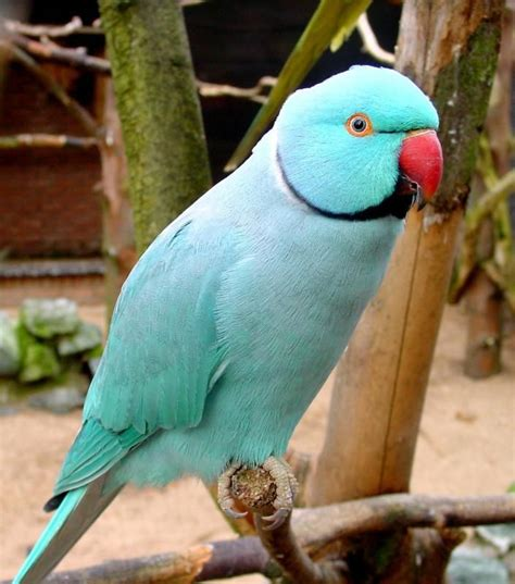 61 best images about indian ringneck parrots on pinterest indian animals and pets and