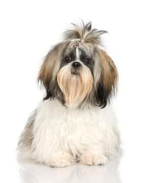 puppy cuts for shichon dogs el shih tzu y las alergias perrospedia