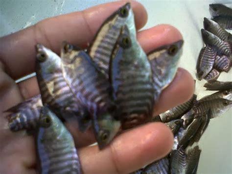 Jual Bibit Ikan Gurame Daerah Garut jual benih gurame di palembang indralaya sentra benih