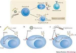 frontiers induction of regulatory t induction of regulatory b cells with immunosuppressive