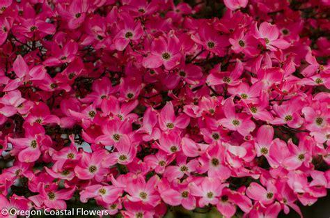 pink flowering dogwood branches oregon coastal flowers