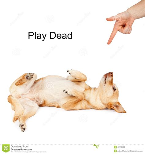 play dead play dead command stock photo image 48718453