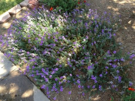 phoenix plant id purple flowers ground cover shade