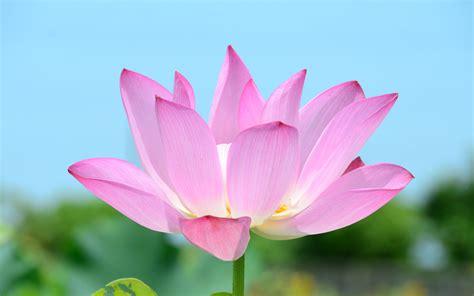 wallpaper pink lotus pink lotus flower wallpaper 39464