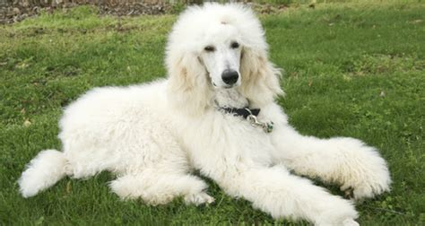 Do Standard Poodles Shed by 9 Most Popular Breeds That Don T Shed Puppy Lover News