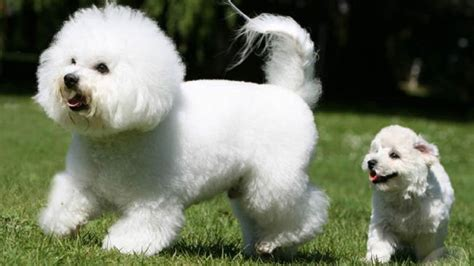 Does A Bichon Frise Shed by What Breed Of Does Not Shed Hair Pictures Breeds
