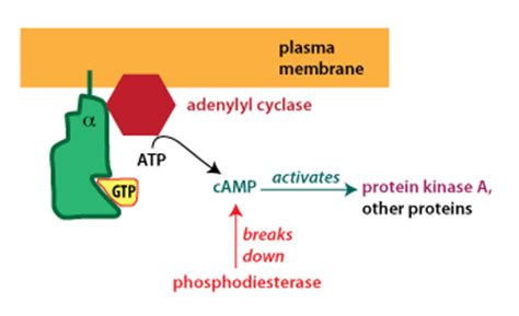 G-protein Coupled Receptors G Protein Coupled Receptors Adenylyl Cyclase