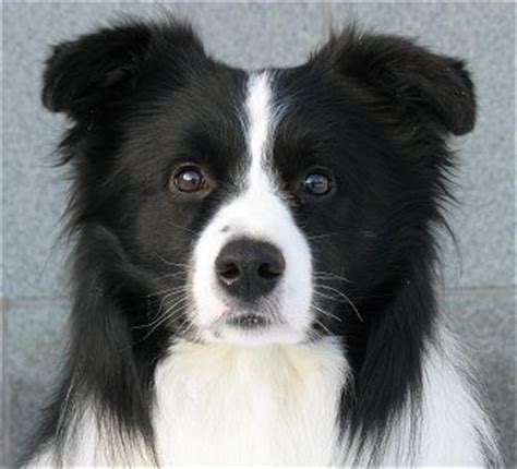 frodo the black and white dog utter cuteness