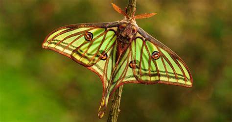 imagenes de mariposas negras grandes mariposas isabelinas im 225 genes y fotos