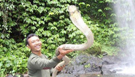 film king ular cobra ular king cobra the best cobra of 2018