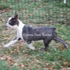 puppies for sale in harlingen tx boston terrier puppies for sale in