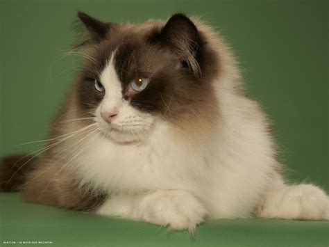 ragdoll breed ragdoll cat breed ragdoll cat hd widescreen wallpapers