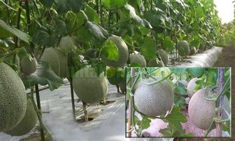 tips budidaya menanam melon  berbuah besar