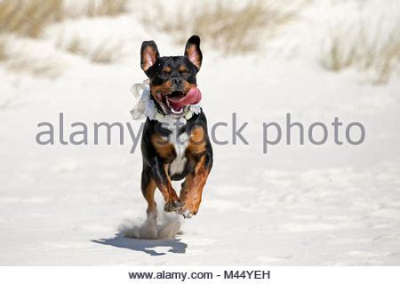rottweiler x bull terrier staffordshire bull terrier running meadow germany stock photo royalty free