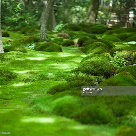 japanese moss garden kyoto stock photo getty images