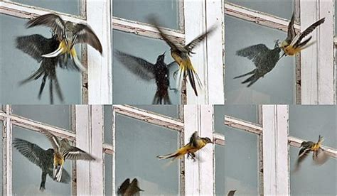 chirp chatter birds fly into windows attacking their