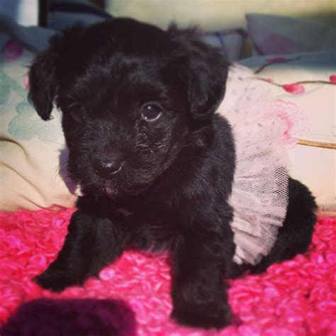 chorkie puppies for sale adorable chorkie poo puppies for sale southton hshire pets4homes