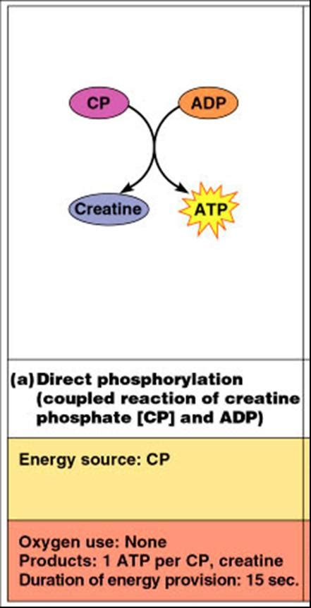 creatine o phosphate reviews associate degree nursing physiology review