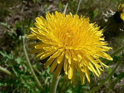 fiori gialli nomi fiori gialli nomi piante perenni nomi dei fiori gialli