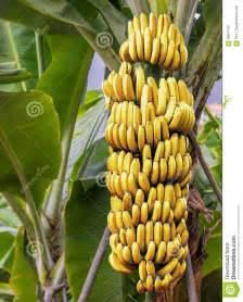 bananas on tree banana tree with a bunch of ripe bananas stock photo image 66670181