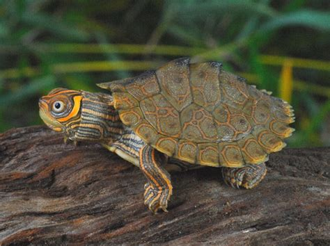 high orange mississippi map turtles for sale from the