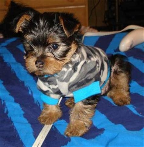 chorkie teddy bear xut 17 best images about chorkies on pinterest chihuahuas