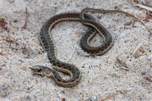 Garden Snake Tn Field Herp Forum View Topic Color And Pattern