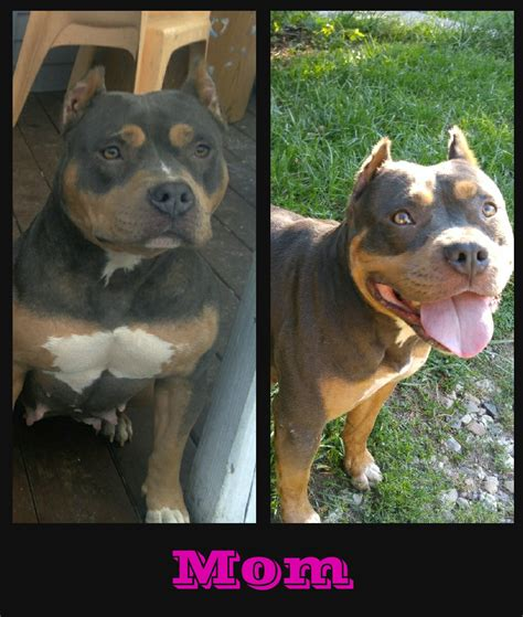 bully puppies for sale in michigan tri american bully petzlover