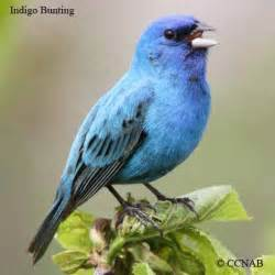 blue colored birds blue birds birds by color american birds birds