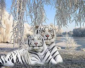 Trippy Wall Murals baby white tiger wallpapers wallpaper cave