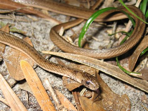 Garden Snake Florida by Snake Removal How To Get Rid Of Snakes Snake Trap