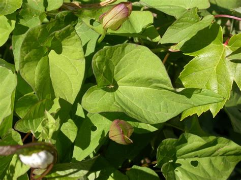 vine weeds
