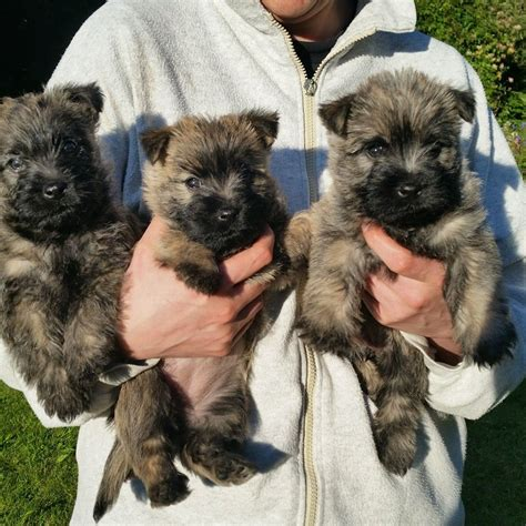 cairn terrier puppies for sale kc registered cairn terrier puppies for sale