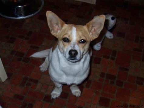 corgi chihuahua mix puppies flymo the beagle chihuahua pembroke corgi mix allmutt
