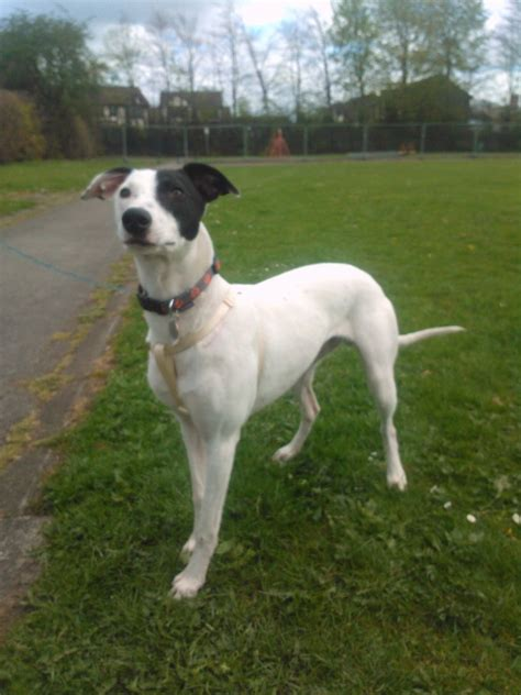 whippet dogs whippet rescue uk stanley 1 year whippet x sandbach cheshire pets4homes