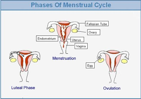 Detox Menstrual Cycle by Phases Of Menstrual Cycle Jpg Ed For