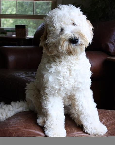 doodle haircuts dogs 366 best australian labradoodle images on