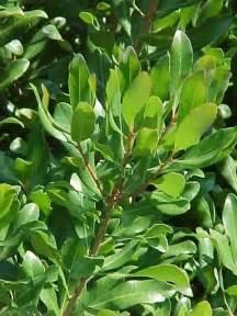 Pink Flowering Tree Identification - myrica pensylvanica bayberry 50 unroot cuttings z 2 ebay