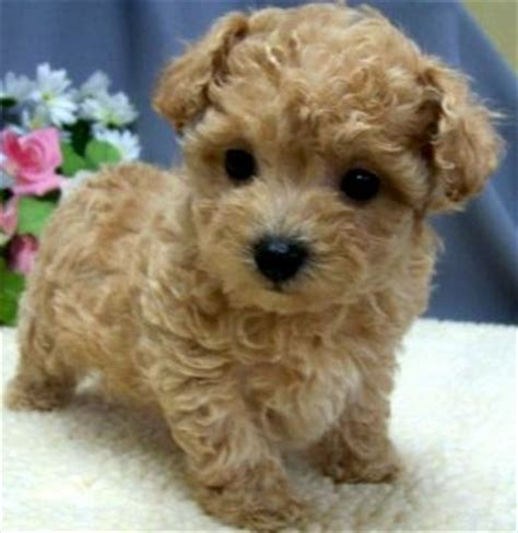brown maltipoo puppies for sale maltipoo puppies in florida breeds picture